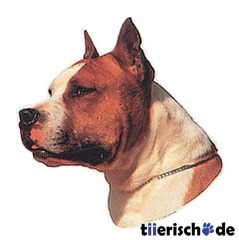 American Staffordshire Terrier braun wei
