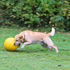 Treibball für Hunde